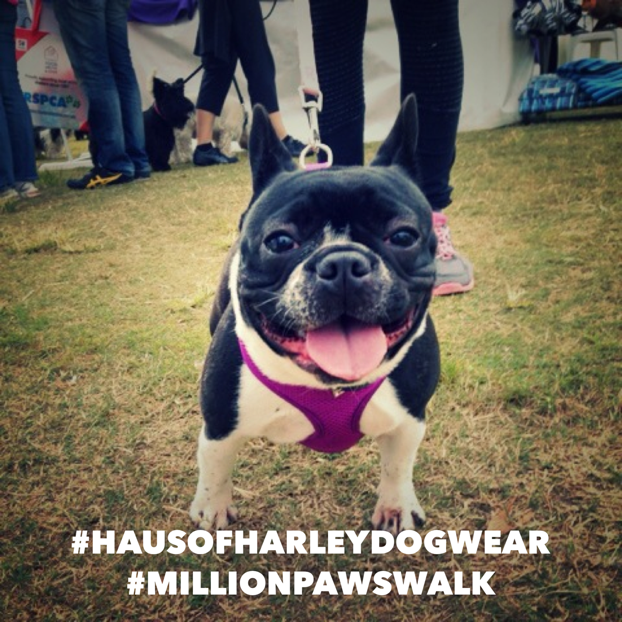 Haus of Harley Dogwear at Million Paws Walk Sydney 2015